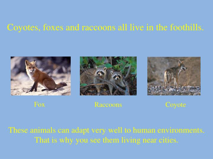 Coyotes, foxes and raccoons all live in the foothills.