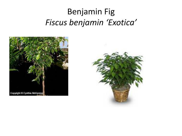 Benjamin Fig