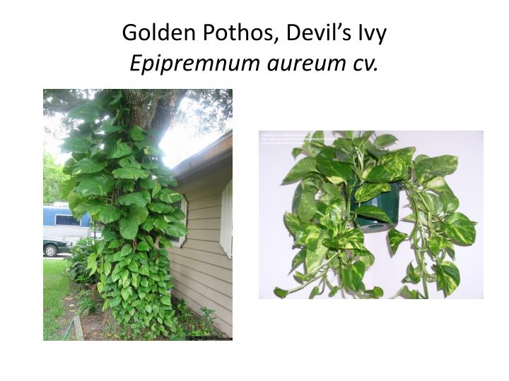 Golden pothos devil s ivy epipremnum aureum cv