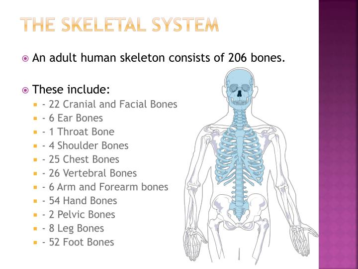 Ppt The Skeletal System Powerpoint Presentation Id2808248