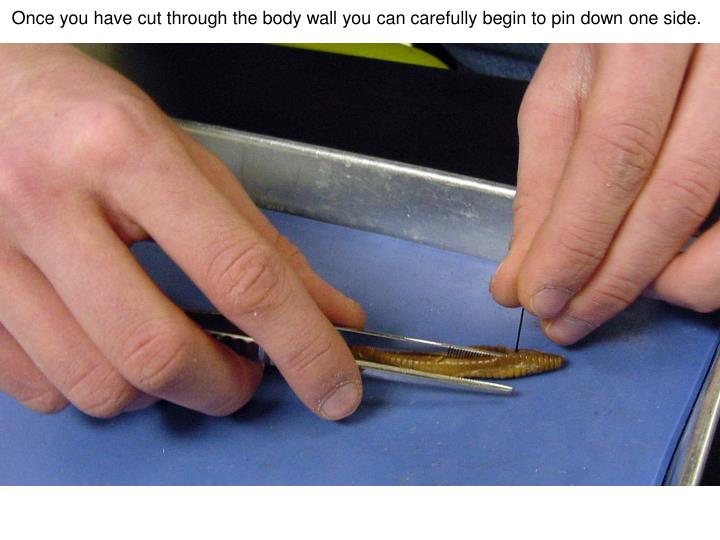 Once you have cut through the body wall you can carefully begin to pin down one side.
