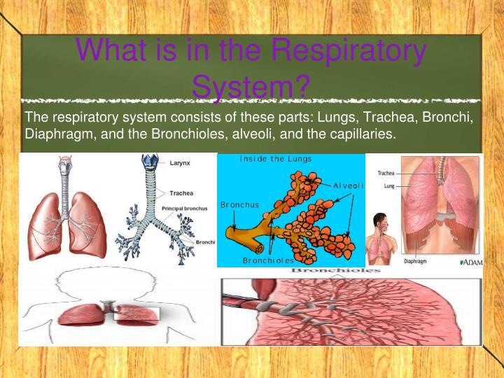 What is in the respiratory system