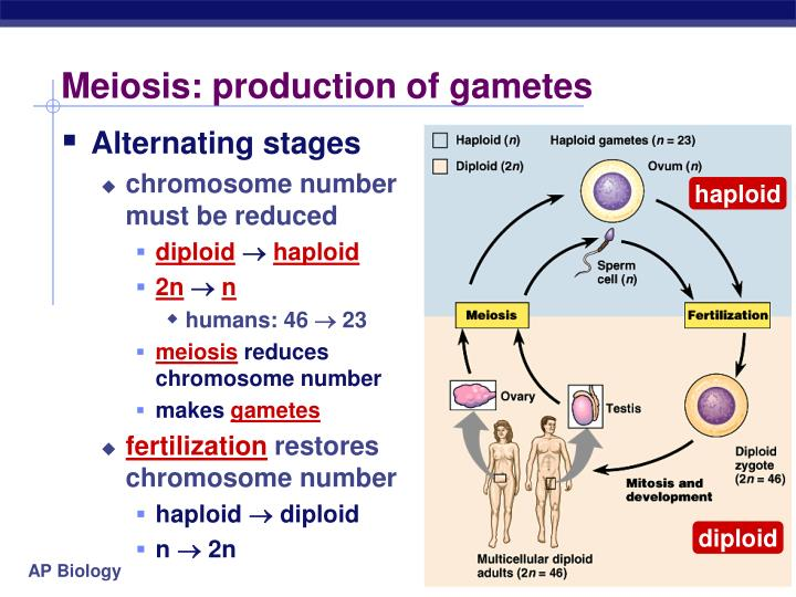 Meiosis: production of gametes