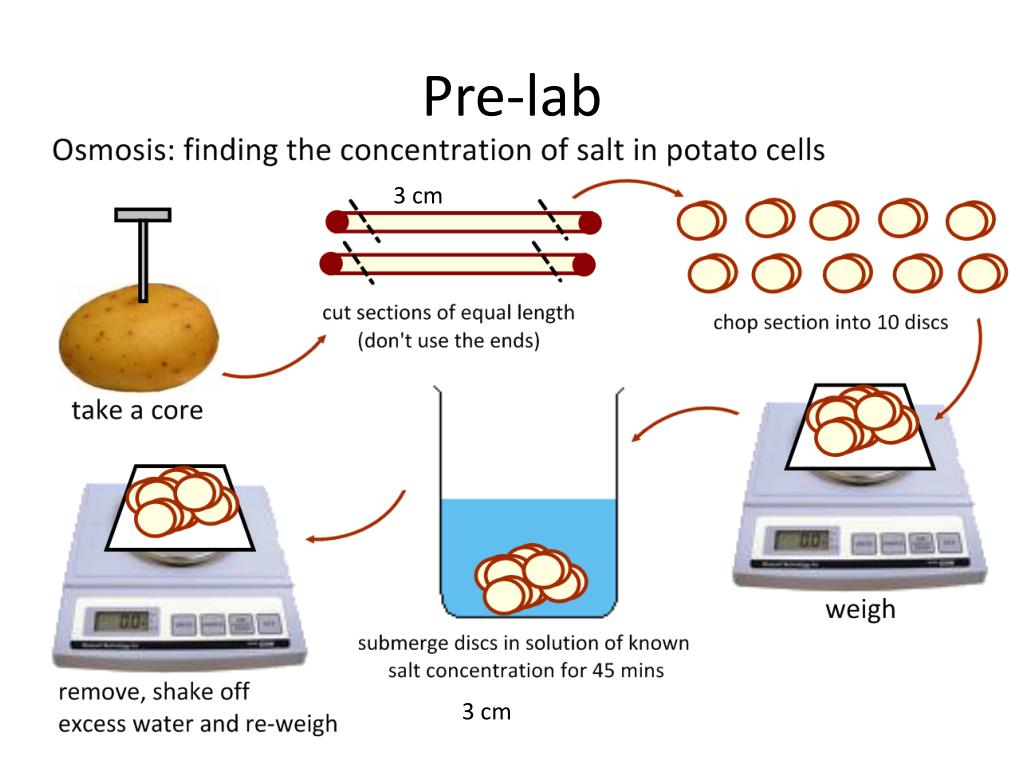 PPT - Osmosis in Potatoes PowerPoint Presentation - ID:2814772