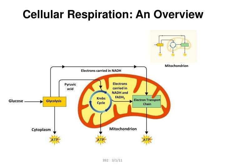 Cellular Respiration: An Overview