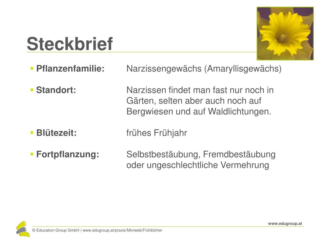 Steckbrief narzisse Dichter