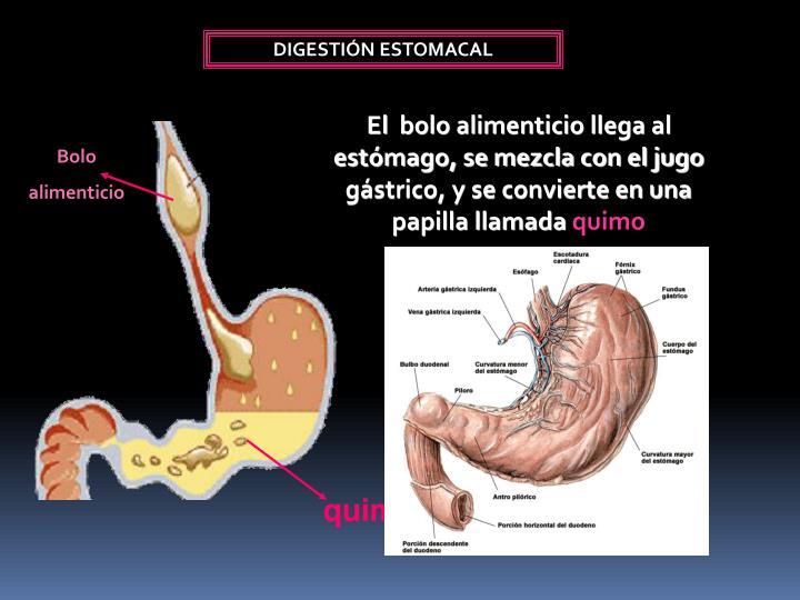 PPT - Sistema Digestivo De Un Ser Omnívoro PowerPoint Presentation ...
