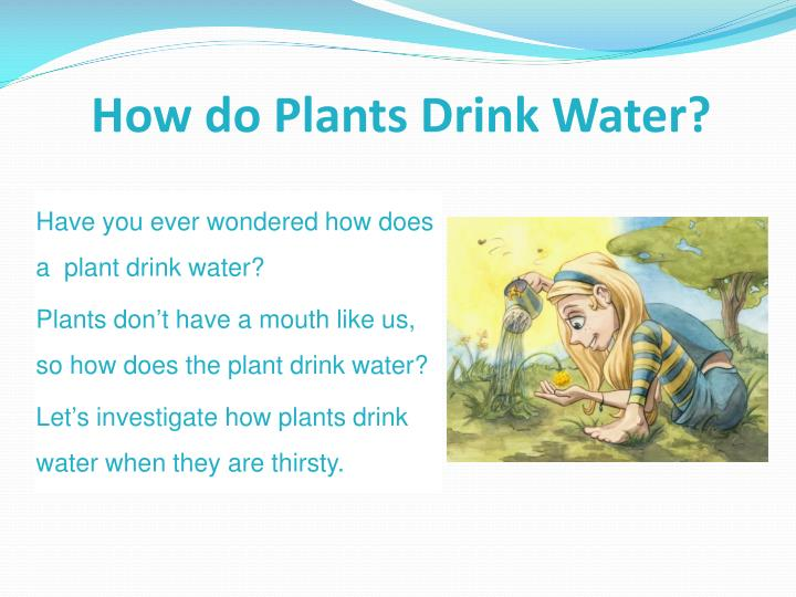 how do plants drink water n.