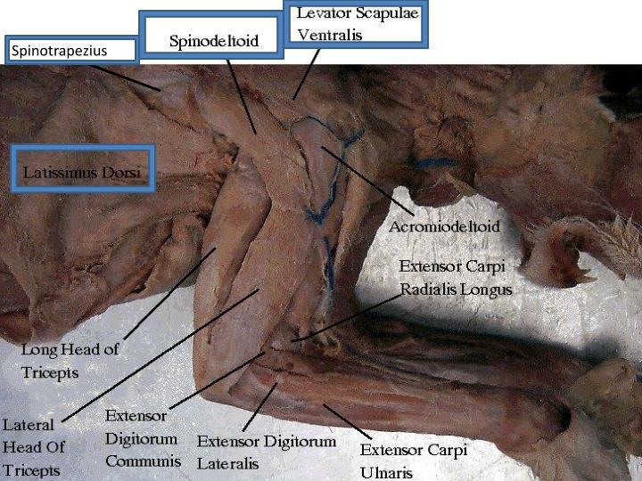Spinotrapezius