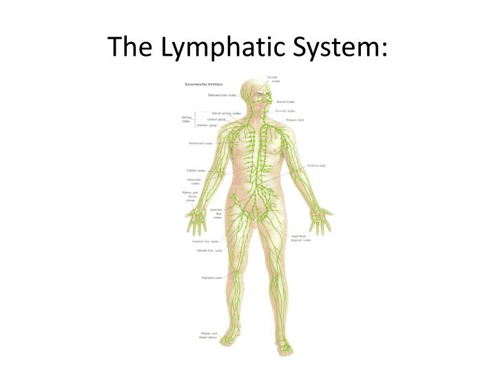 image Manual lymphatic drainage 27 from sexxdates