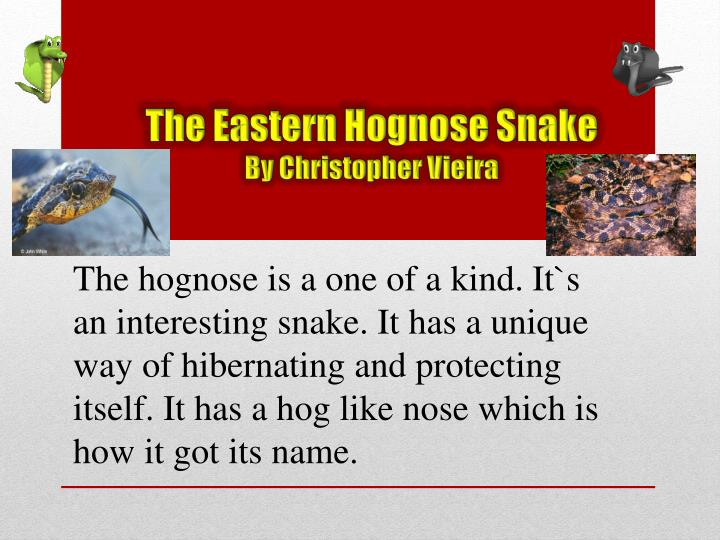 The eastern h ognose snake by christopher vieira
