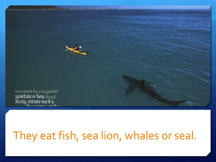 They eat fish, sea lion, whales or seal.