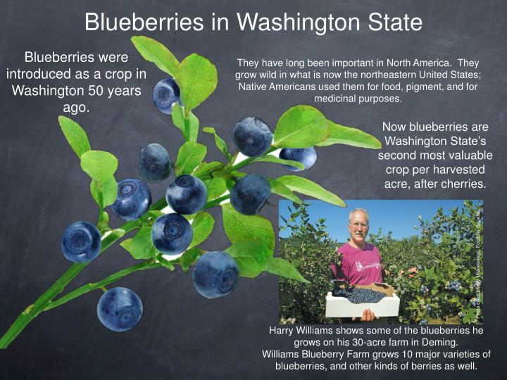 Blueberries in Washington State