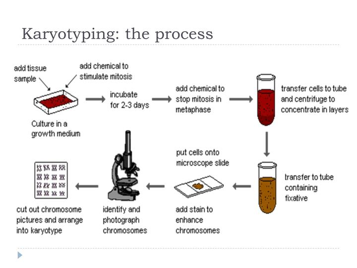 Ppt Human Chromosome And Karyotyping Powerpoint