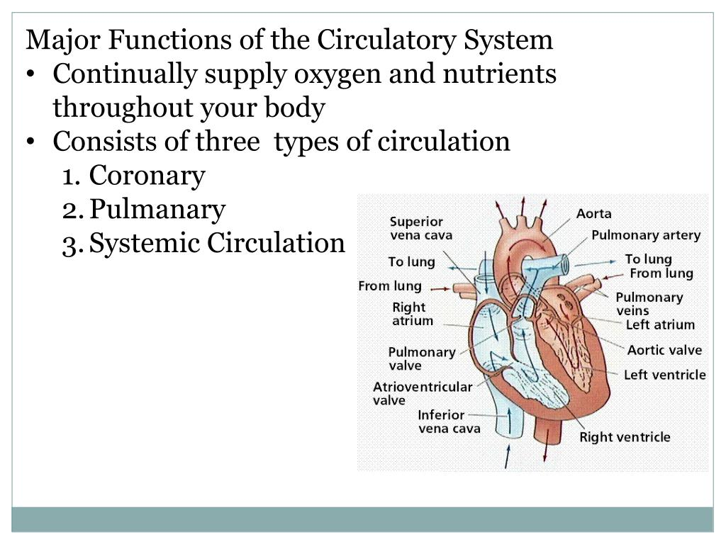 PPT - Circulatory System PowerPoint Presentation - ID:2829415