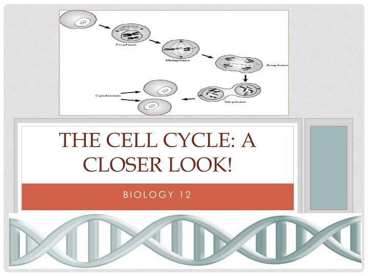 the cell cycle a closer look n.