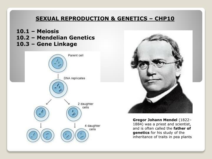 gregor mendel and the study of genes The scientific study of heredity slide 4 gregor mendel born in 1822 in czechoslovakia became a today these factors are called genes, but mendel knew nothing about chromosomes, genes or dna because there terms hadn't been identified yet allele - difference forms of a gene.