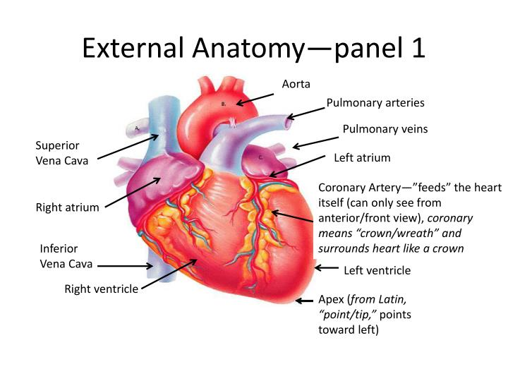 PPT - 4.1. Heart Anatomy PowerPoint Presentation - ID:2843582