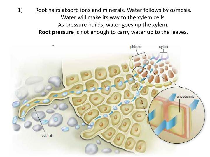 Root hairs absorb ions and minerals. Water follows by osmosis.