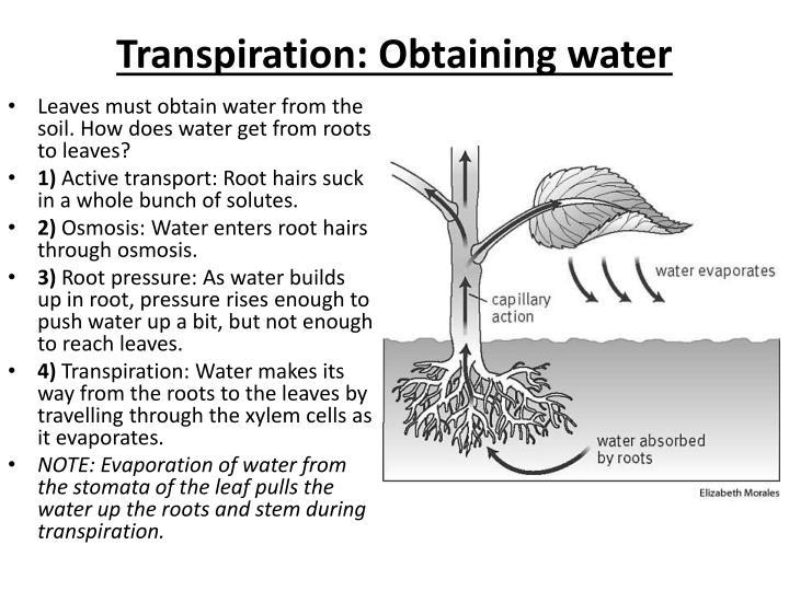Transpiration: Obtaining water