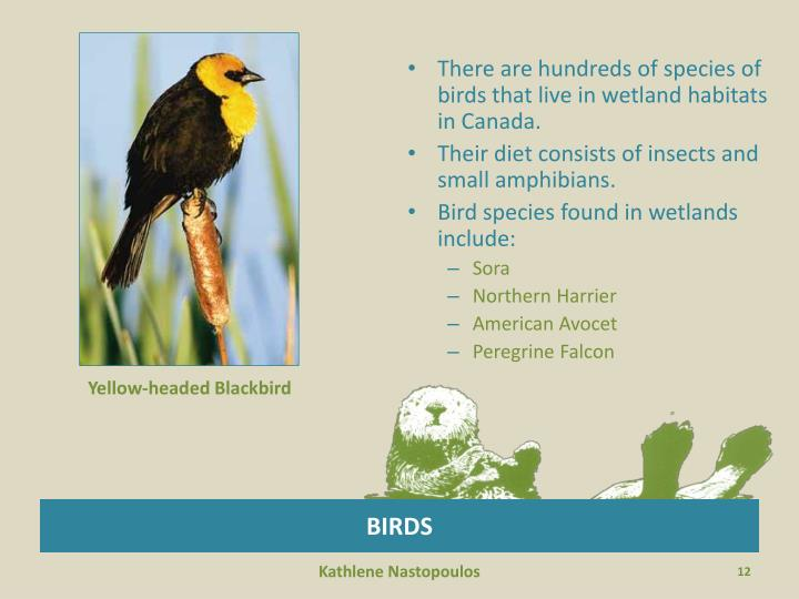 There are hundreds of species of birds that live in wetland habitats in Canada.