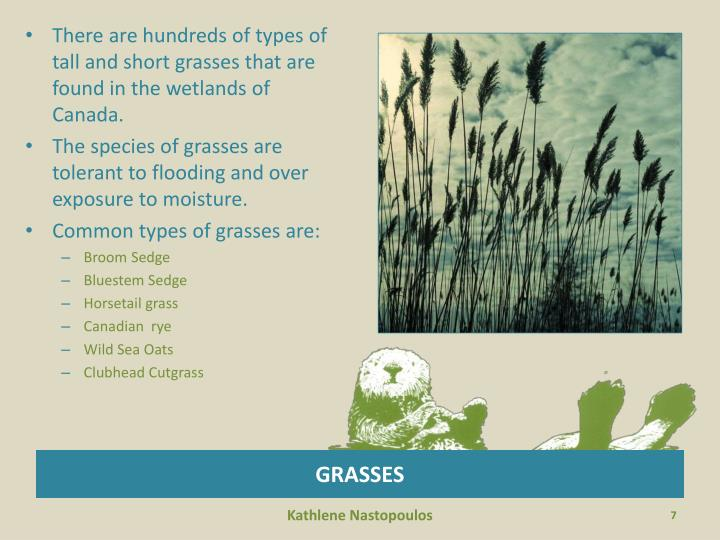 There are hundreds of types of tall and short grasses that are found in the wetlands of Canada.