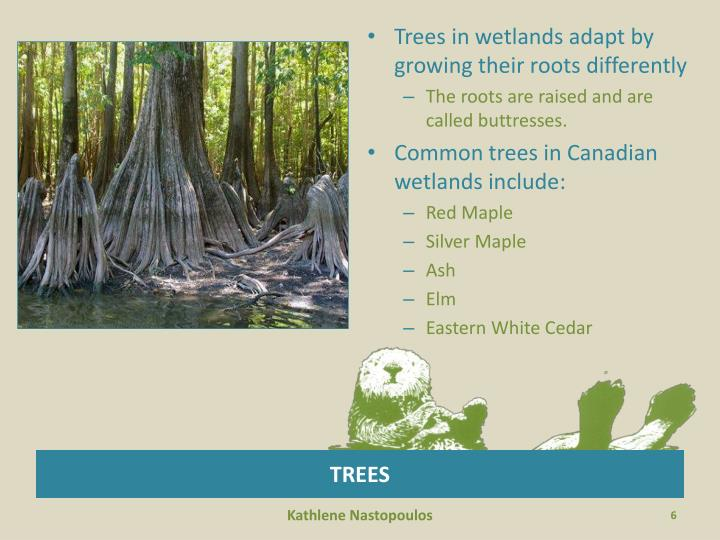 Trees in wetlands adapt by growing their roots differently