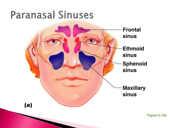Awesome Anatomi Sinus Paranasal Images Anatomy And Physiology