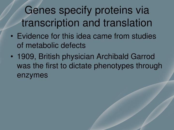Genes specify proteins via transcription and translation