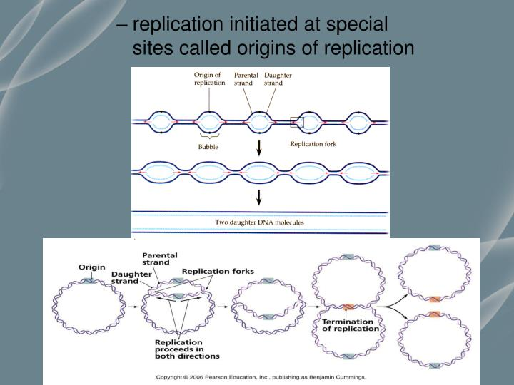 replication initiated at special sites called origins of replication
