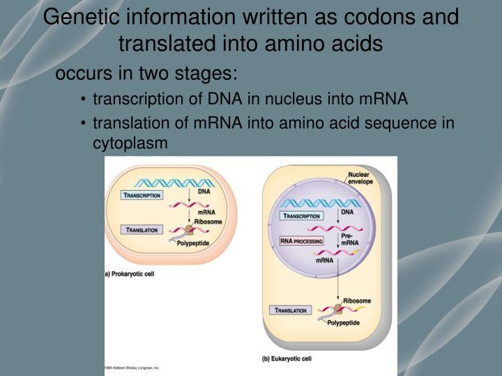 Genetic information written as codons and translated into amino acids