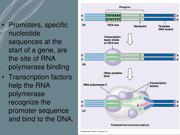 Promoters, specific nucleotide sequences at the start of a gene, are the site of RNA polymerase binding