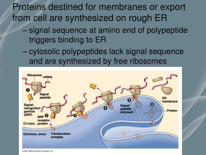 Proteins destined for membranes or export from cell are synthesized on rough ER