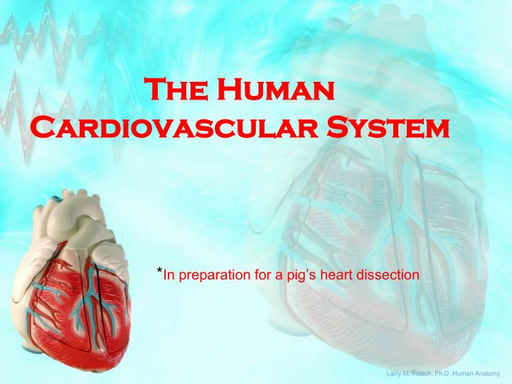 the human cardiovascular system n.