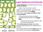 lower epidermis and stomata