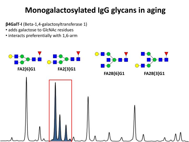 Monogalactosylated IgG glycans in aging