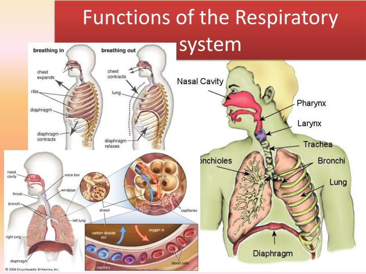 PPT - Functions of the Respiratory system PowerPoint Presentation ...