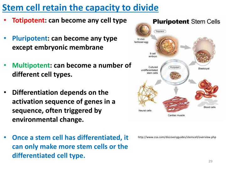 cell theory stem cells Stem cells in theory some veterinarians see a need for more caution in the use of stem cells among them is dr brennen a mckenzie of adobe animal hospital in los altos, calif, president-elect of the evidence-based veterinary medicine association and author of the skeptvet blog.