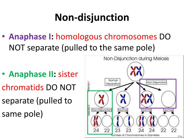 non dis junction Nondisjunction occurs during meiosis ii if sister chromatids fail to separate home chapter 26 multiple choice quiz.