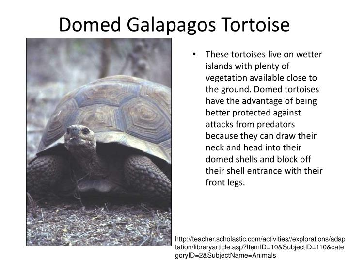 Domed Galapagos Tortoise