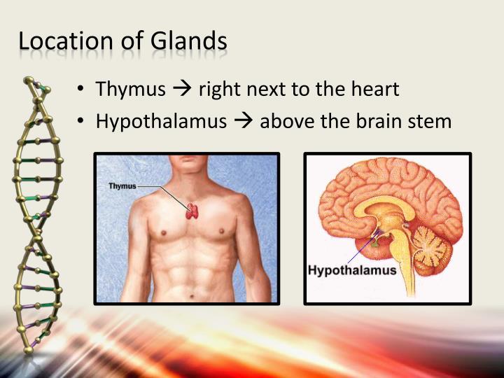 PPT - Thymus & Hypothalamus PowerPoint Presentation - ID:2874101