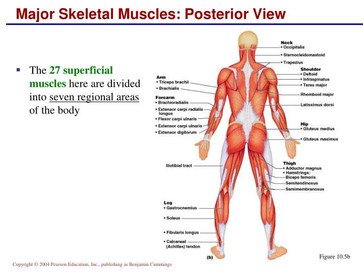 Chapter 6 Leg Skeleton Diagram - Wiring Diagram For Light Switch •