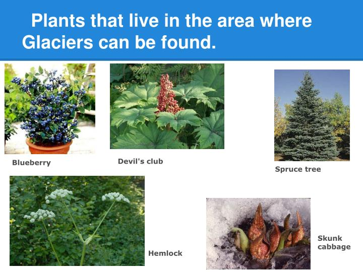 Plants that live in the area where Glaciers can be found.