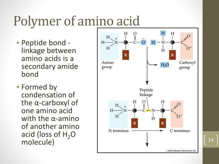 Polymer of amino acid