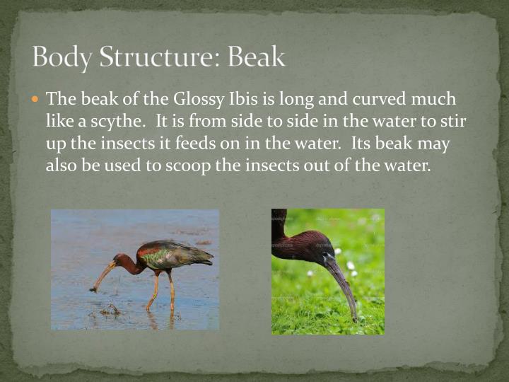 Body Structure: Beak