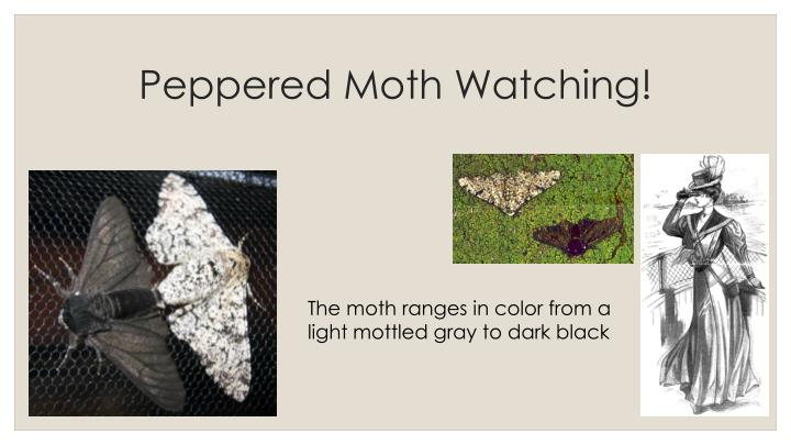 Peppered Moth Watching!