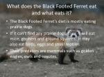 what does the black footed ferret eat and what eats it