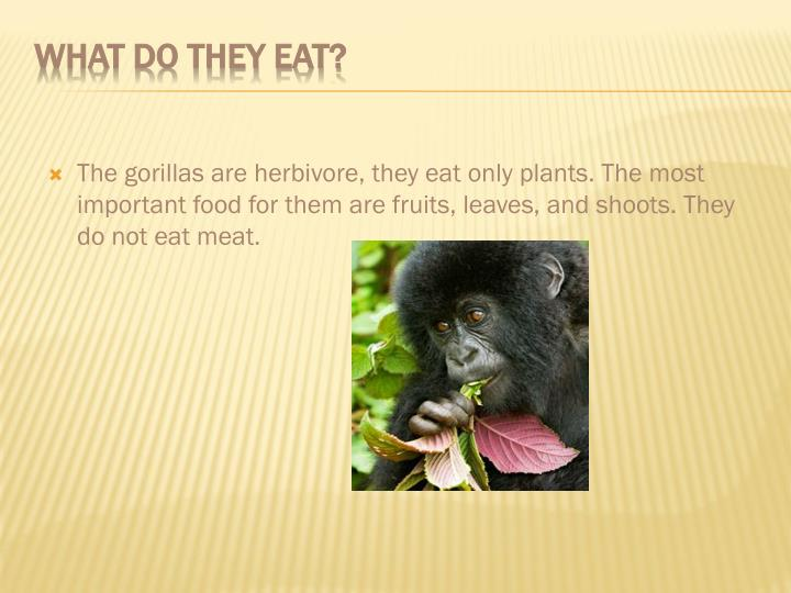 The gorillas are herbivore, they eat only plants. The most important food for them are fruits, leaves, and shoots. They do not eat meat.