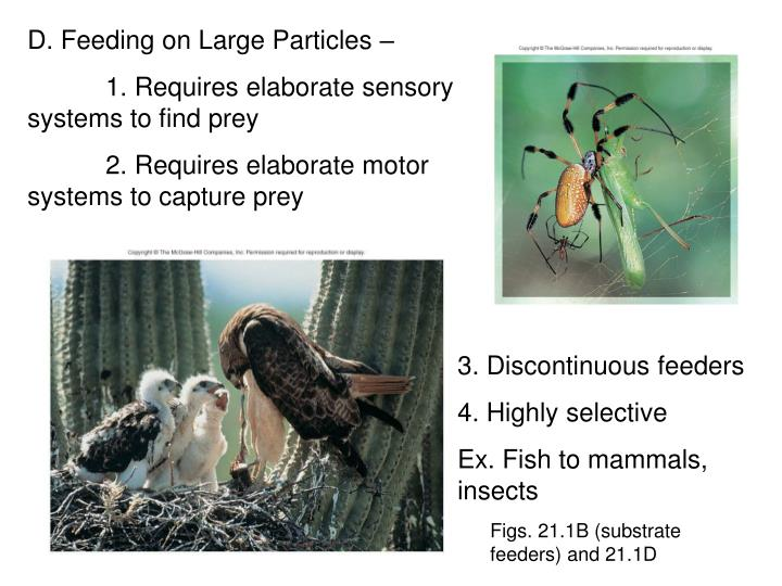 D. Feeding on Large Particles –