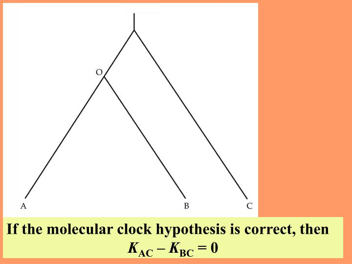 If the molecular clock hypothesis is correct, then